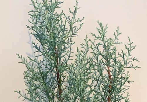 ブルーアイス(Cupressus arizonica)(2019.11.25)