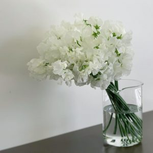 優しく咲いているスイトピー(2021.02.20)