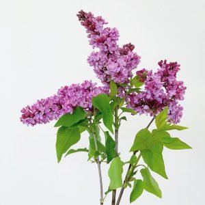 お花たちは少しずつ春から初夏へと移ろっていきます(2021.04.25)